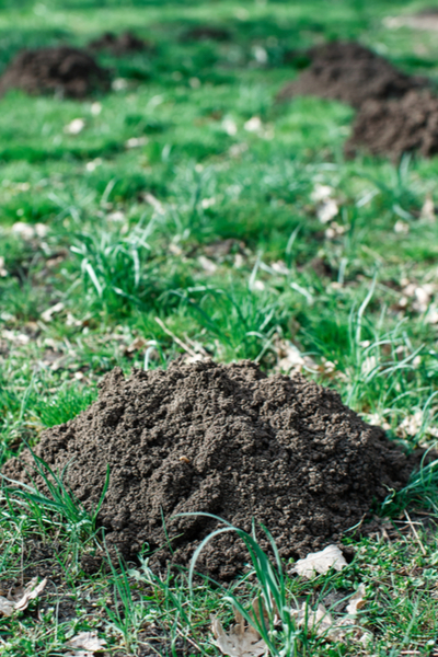 Ground mole hole