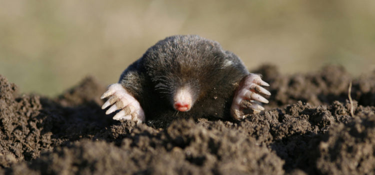 deter moles and voles naturally