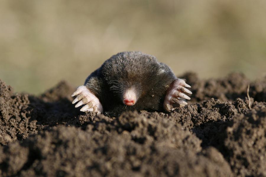 deter moles and voles naturally