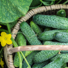 growing straw bale cucumbers
