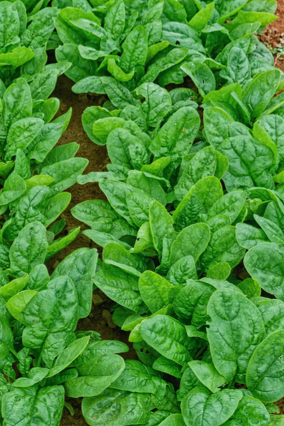 planting spring seed crops - spinach