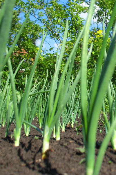 spring onions in the garden