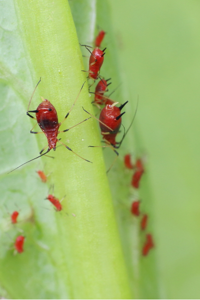 how to stop aphids