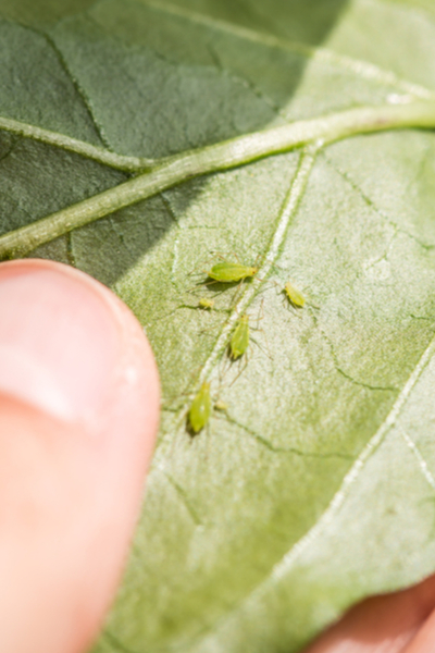 aphids on a pepper plant leaf