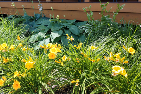 splitting daylilies