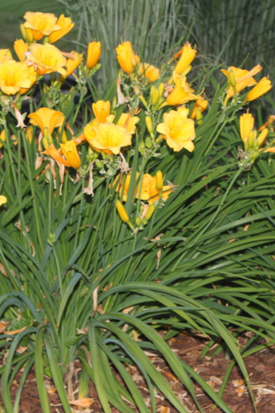 daylilies after they bloom