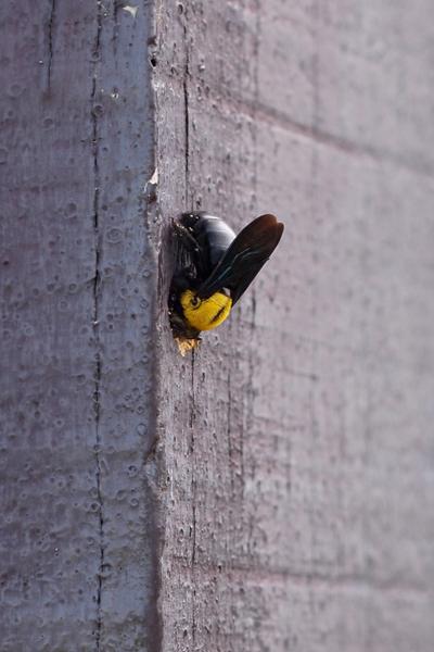 stop carpenter bees