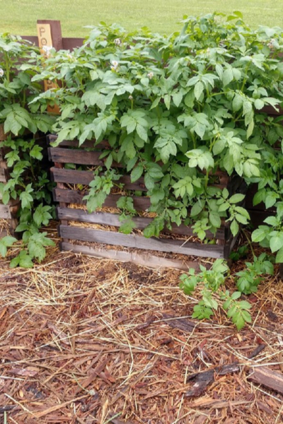2020 Garden Plan - potato crates