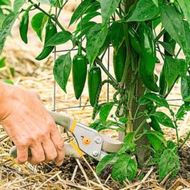 prune pepper and tomato plants