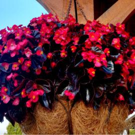 best hanging basket plant