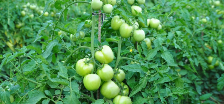 help struggling tomato plants