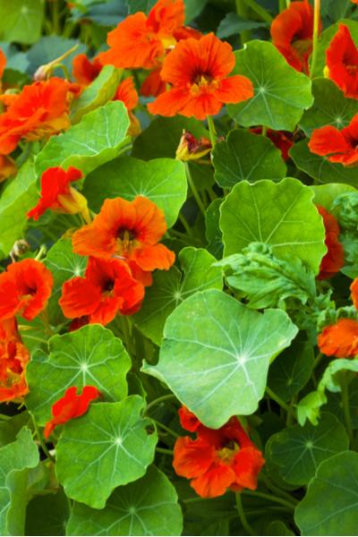 nastrutium  blooms