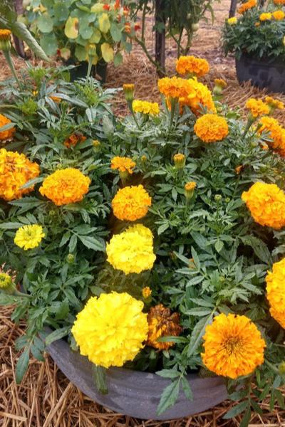 marigold flowers blooming