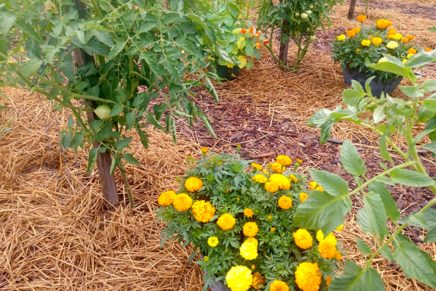 deter pests with flowers