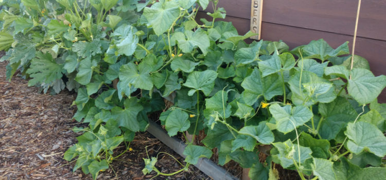 growing cucumbers in straw