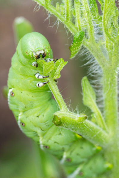 how to deter pests with companion planting