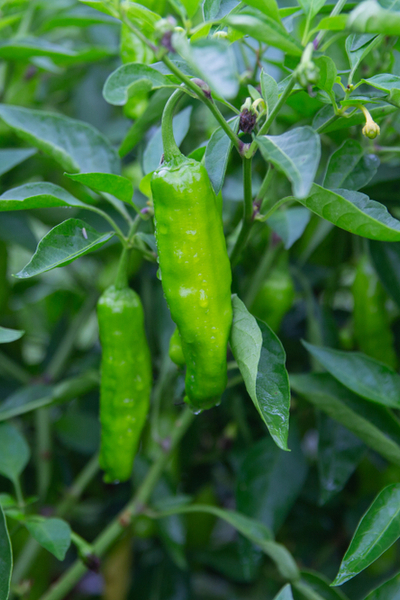 shishito pepper plants