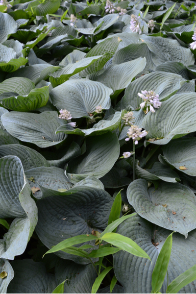 oversized hosta plant