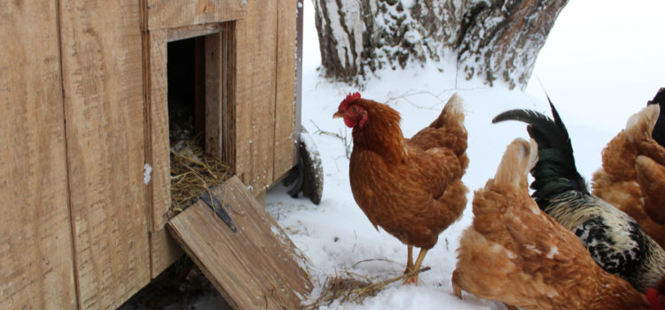 how to prepare the chicken coop for winter