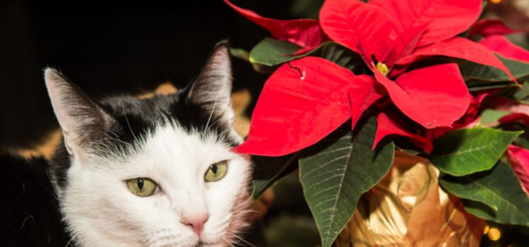 are poinsettias dangerous