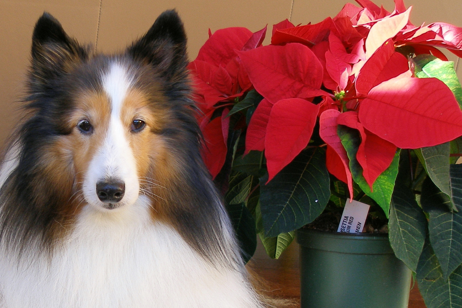 are poinsettias are dangerous to pets