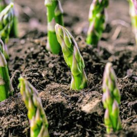 how to grow asaragus - top tips