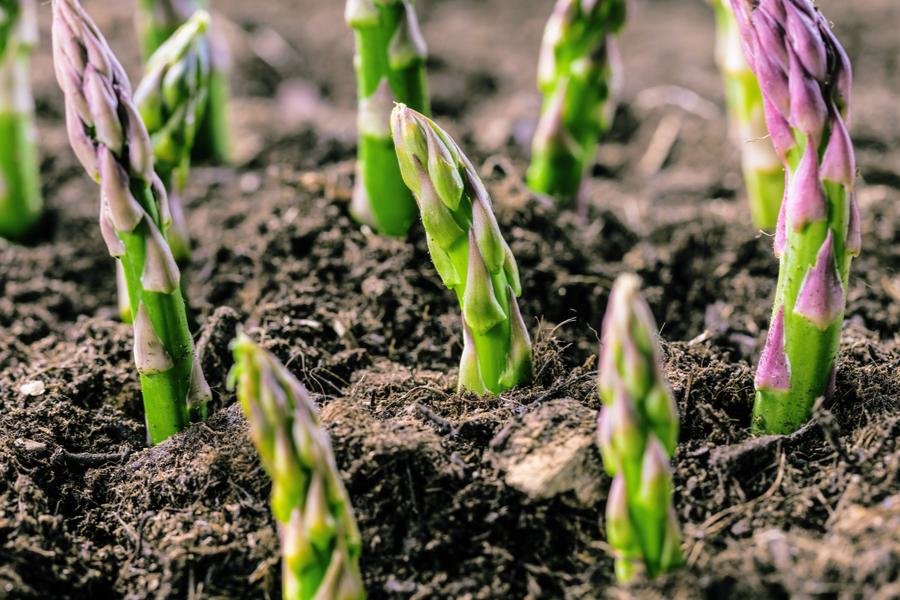 How To Grow Asparagus The Secrets