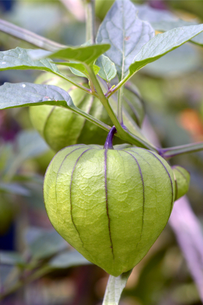 unique garden plants  - the tomatillo
