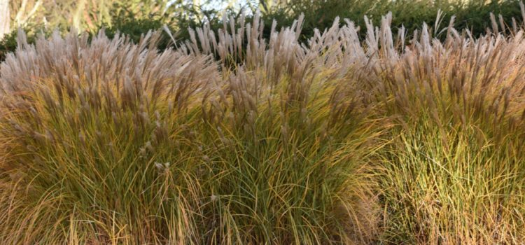 How & Why To Cut Back Ornamental Grasses In Late Winter / Early Spring