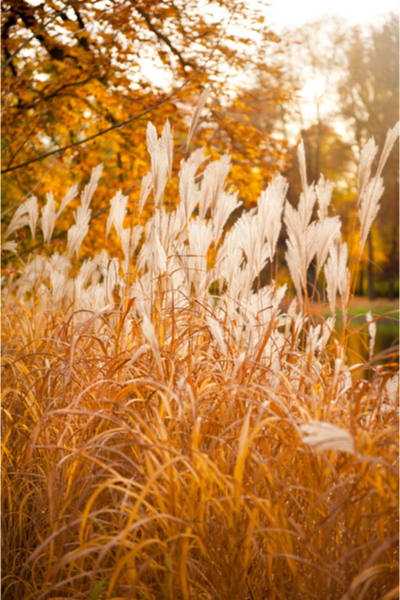 cutting back ornamental grasses - in the fall