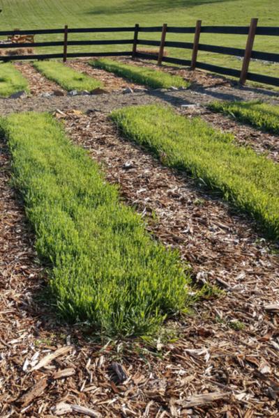cover crops in a no till raised row garden