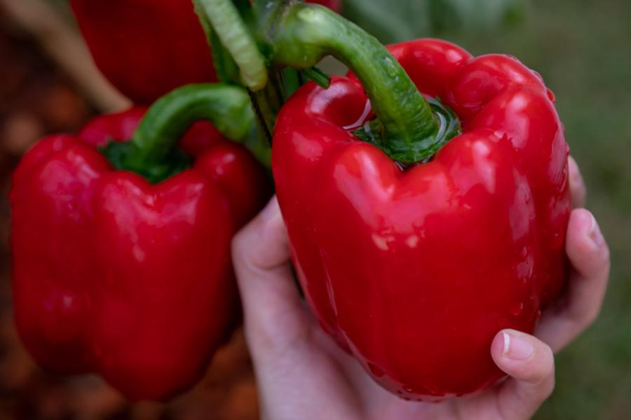 perfect pepper plants