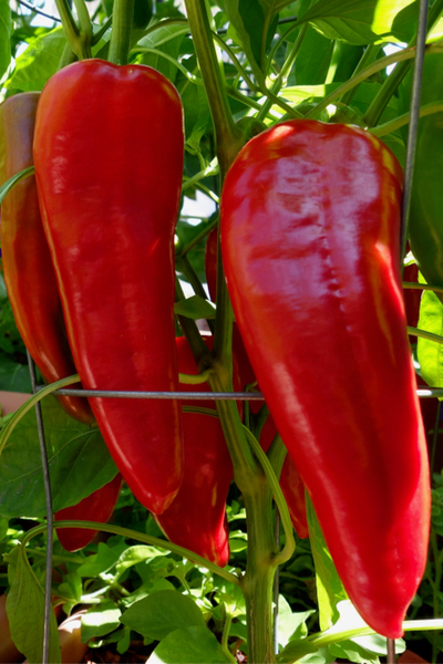 perfect peppers - Italian roaster