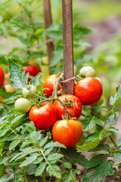 staking plants - growing tomatoes