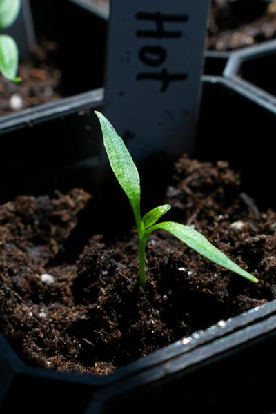 tranplanting