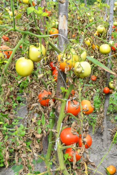 blighted tomatoes