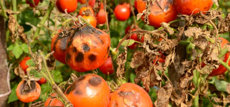 keep tomato plants healthy