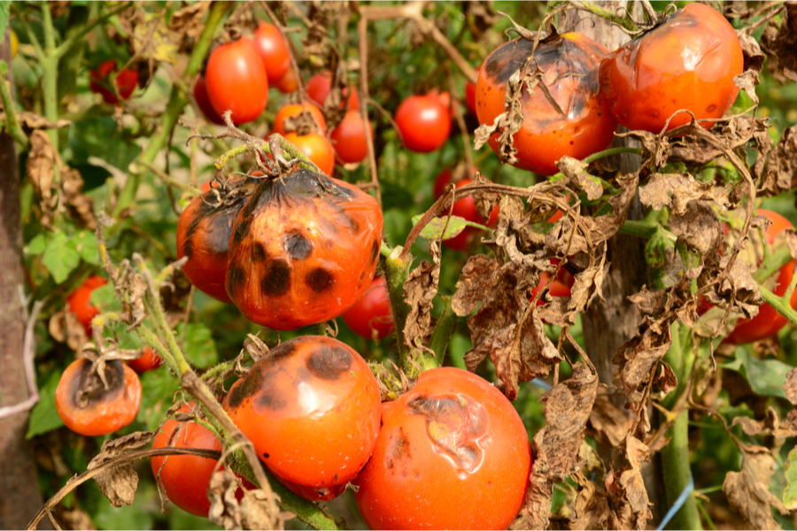 keep tomato plants healthy