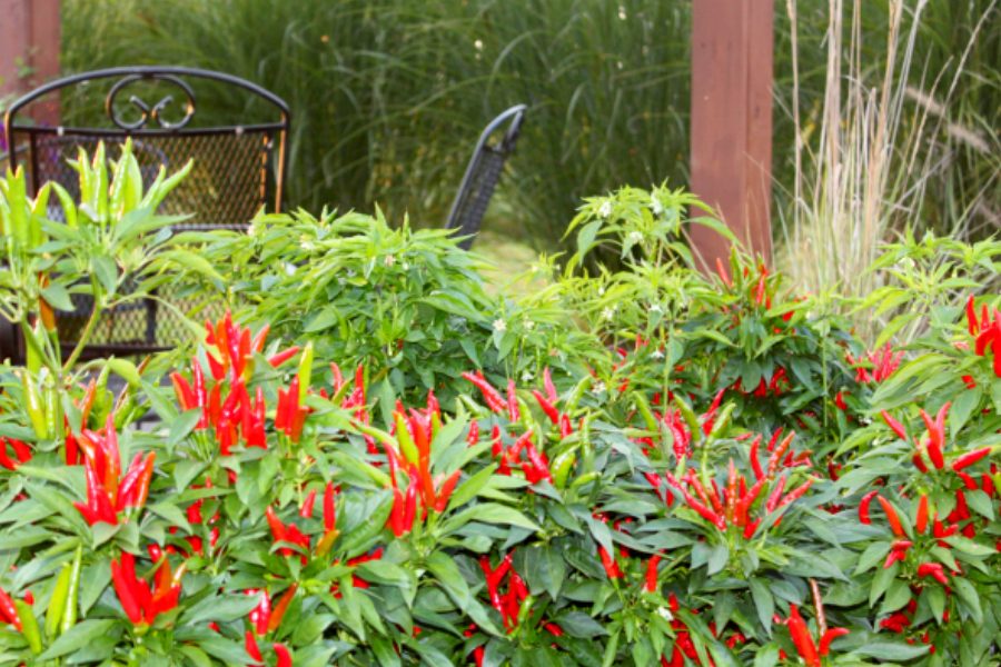 growing ornamental peppers in flowerbeds