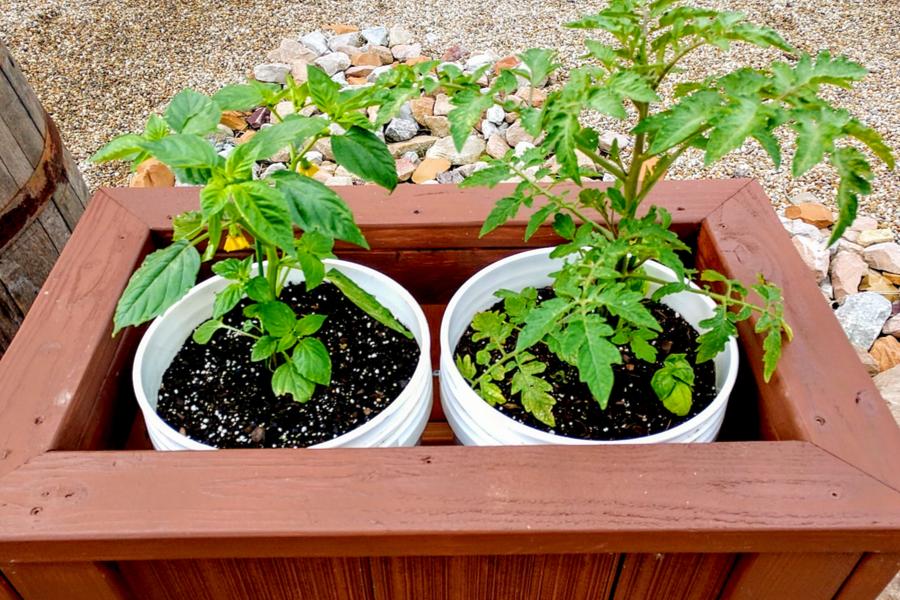 bucket planter tomatoes