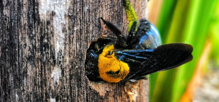 stopping carpenter bees