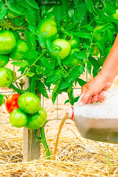 compost tea on tomatoes