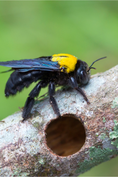 carpenter bee damage