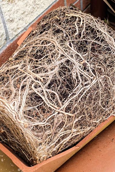 root bound pot