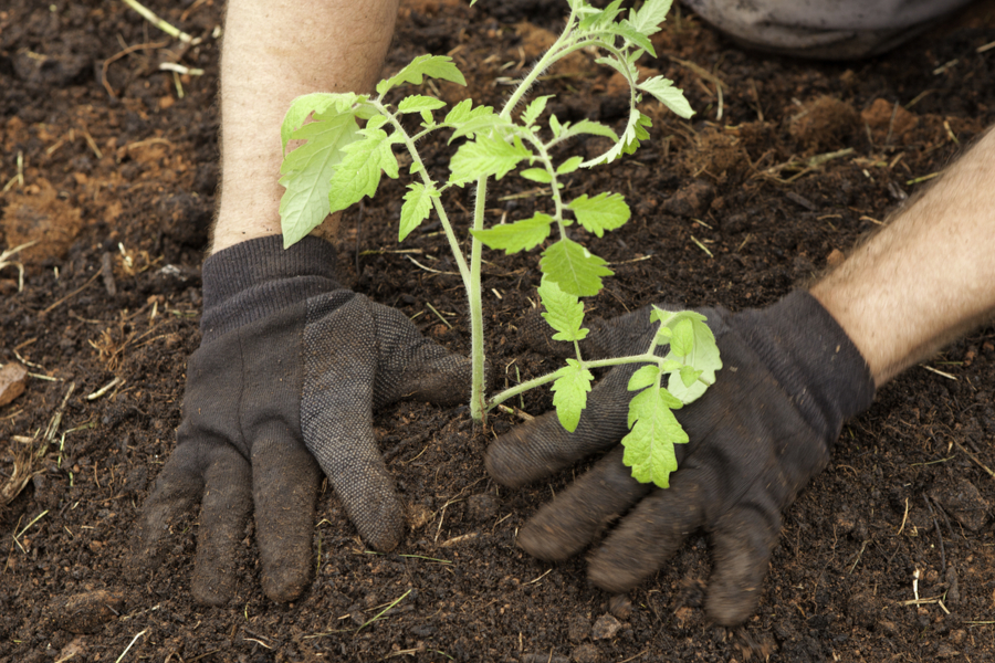 secrets to planting tomatoes