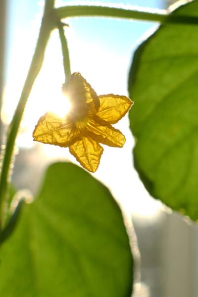 sun in the garden - growing cucumbers