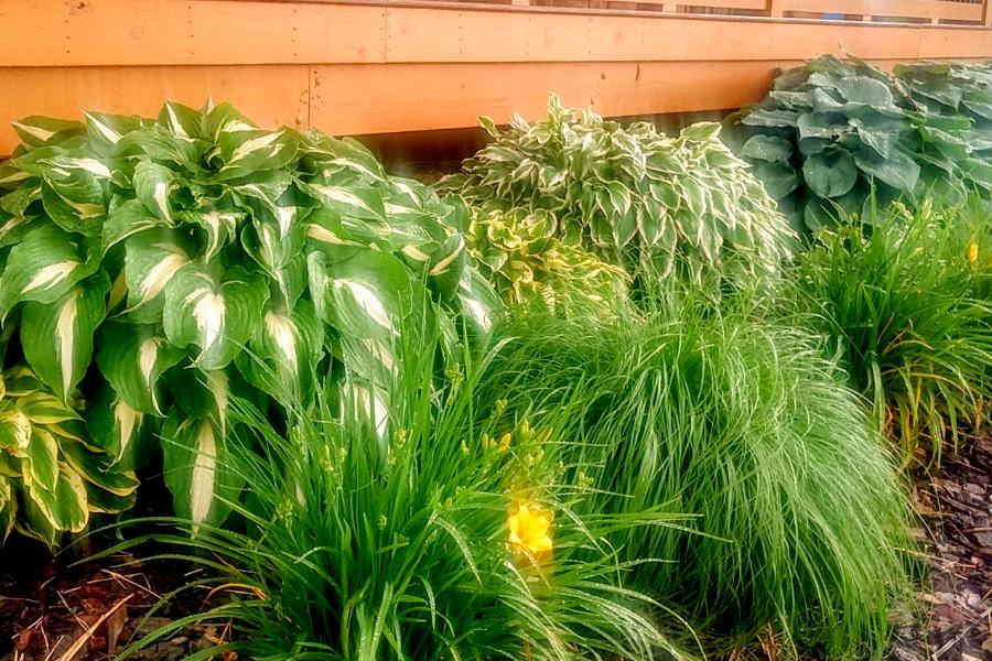 keep hosta plants looking great