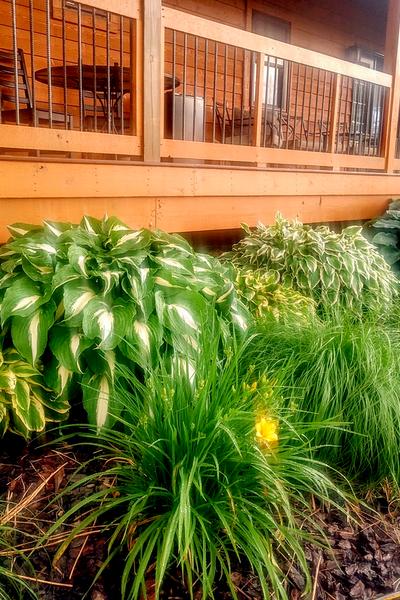 tranplanting hosta