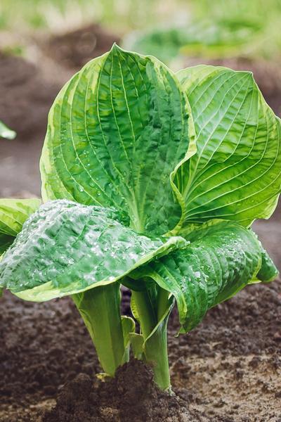 cutting back hosta plants