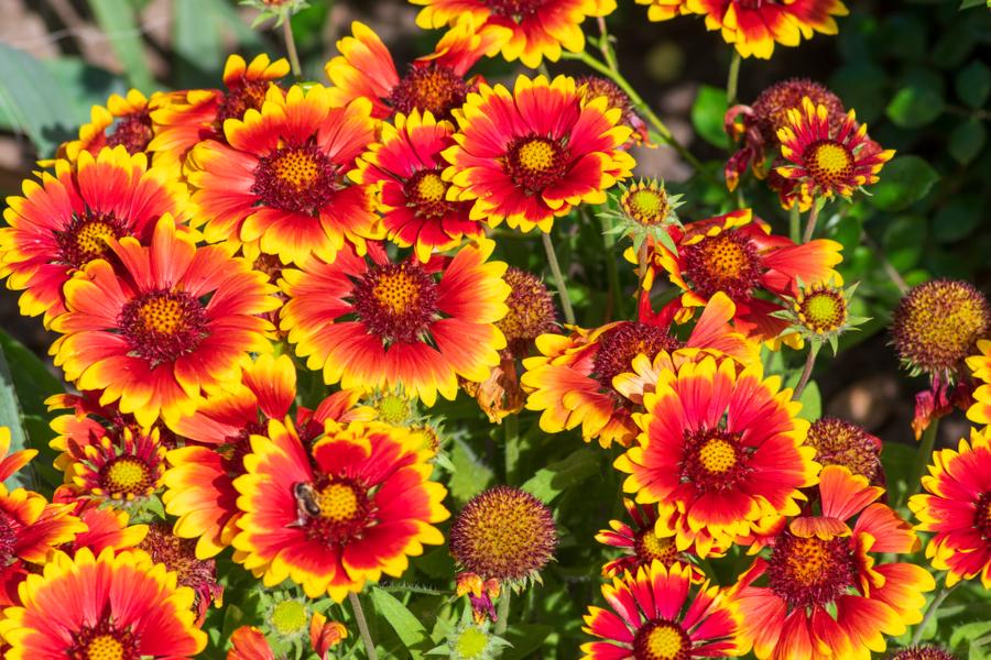 longest blooming perennial